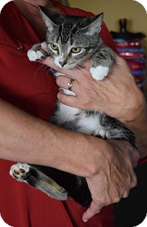 Domestic Shorthair Kitten for adoption in Surrey, British Columbia - Nigel