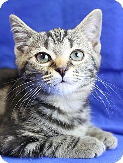 Domestic Shorthair Kitten for adoption in Winston-Salem, North Carolina - Angelina