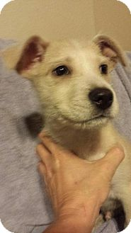 Labrador Retriever/Wirehaired Pointing Griffon Mix Dog for adoption in Olympia, Washington - Bo