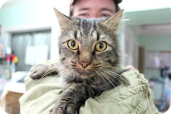 Maine Coon Cat for adoption in Warwick, Rhode Island - Jeremiah