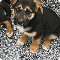 Adopt A Pet :: Oyuki - Tucson, AZ