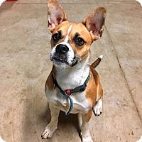 Adopt A Pet :: PAX**~1 YR OLD & 25 LBS!! - Mentor, OH