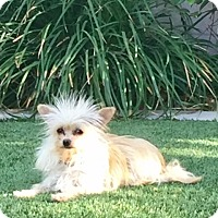 Adopt A Pet :: Dilly - Henderson, NV
