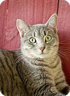 Domestic Shorthair Cat for adoption in Carencro, Louisiana - Olive