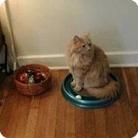 Adopt A Pet :: Chachki - Pittstown, NJ