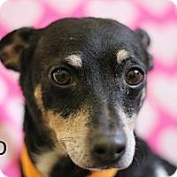 Adopt A Pet :: Bocephus - Roosevelt, UT