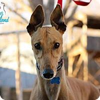 Adopt A Pet :: Ace - Oklahoma City, OK