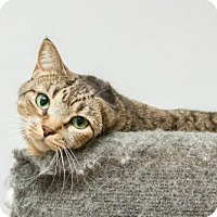 Domestic Shorthair Cat for adoption in Frankenmuth, Michigan - Midori
