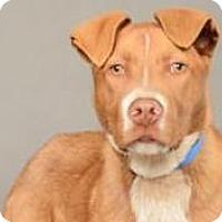 Adopt A Pet :: Spud - Bellevue, WA
