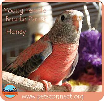 Parakeet - Other for adoption in South Bend, Indiana - Honey