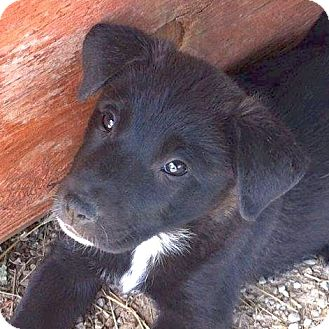 Border Collie Mix Puppy for adoption in Lakewood, Colorado - Lexi