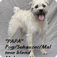 Adopt A Pet :: Papa - El Cajon, CA