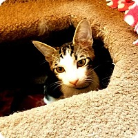 Adopt A Pet :: Kitten 15062 (Jonesy) - Parlier, CA