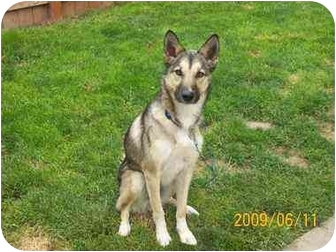 Husky/German Shepherd Dog Mix Dog for adoption in Twin Falls, Idaho - Skeeter