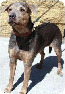 Hound (Unknown Type)/Shar Pei Mix Dog for adoption in Gilbert, Arizona - Sweetness