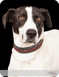 Pointer/Border Collie Mix Dog for adoption in Phoenix, Arizona - Murphy