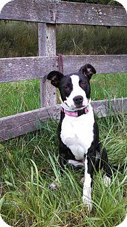 Bull Terrier/Border Collie Mix Puppy for adoption in Kingston, Washington - Jinx