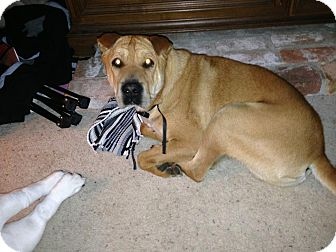 Shar Pei Dog for adoption in Mira Loma, California - Chumley