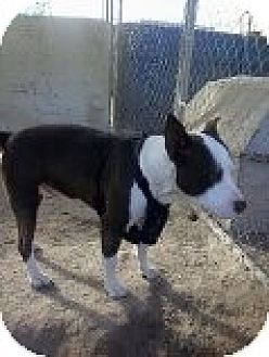 Pit Bull Terrier Mix Dog for adoption in Las Vegas, Nevada - Bobbie