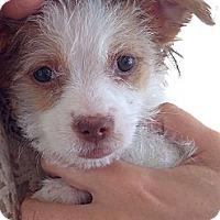 Adopt A Pet :: Milla - Los Angeles, CA