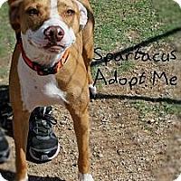 Adopt A Pet :: Spartacus - Mesa, AZ