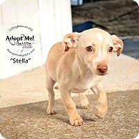 Adopt A Pet :: Stella - Shawnee Mission, KS