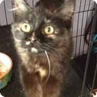 Adopt A Pet :: Bananas Orange U Glad Tortie - McDonough, GA