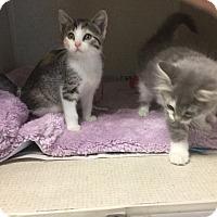 Adopt A Pet :: VIOLET - Hamilton, NJ