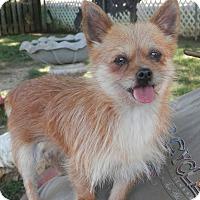 Adopt A Pet :: Foxy - Clarksville, TN