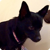 Adopt A Pet :: Coco - sweetest, tiny girl - Stamford, CT