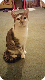 Domestic Shorthair Cat for adoption in Goldsboro, North Carolina - Starsky