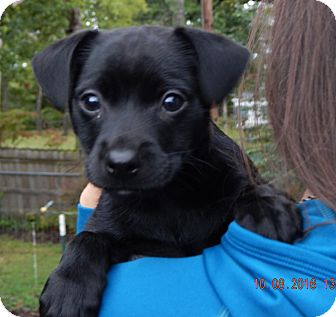 Labrador Retriever/Retriever (Unknown Type) Mix Puppy for adoption in West Sand Lake, New York - Shae (5 lb) Video!