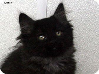 Domestic Mediumhair Kitten for adoption in Republic, Washington - Burgundy