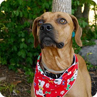 Redbone Coonhound Mix Dog for adoption in Ardmore, Pennsylvania - Buzz