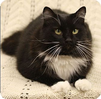 Domestic Longhair Cat for adoption in Washburn, Wisconsin - Doc Holiday