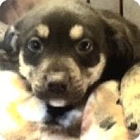 Adopt A Pet :: Coco - Medora, IN