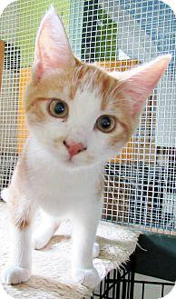 Domestic Shorthair Kitten for adoption in Grinnell, Iowa - Daniel