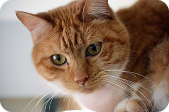 Domestic Shorthair Cat for adoption in Grinnell, Iowa - Binkie