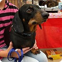 Adopt A Pet :: Shilo - Maryville, TN