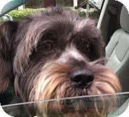 Schnauzer (Miniature)/Poodle (Miniature) Mix Dog for adoption in Boulder, Colorado - Hector