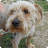 Adopt A Pet :: Scooter - Lockhart, TX