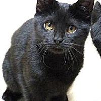 Adopt A Pet :: Velvet - Bedford, MA