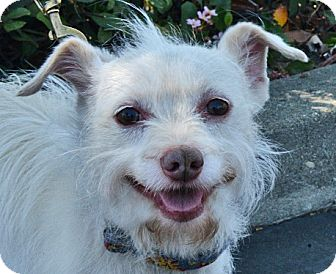 Jack Russell Terrier/Westie, West Highland White Terrier Mix Dog for adoption in San Jose, California - Elwin