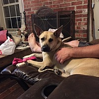 Black Mouth Cur Mix Puppy for adoption in Plano, Texas - Kota