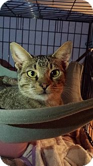 Domestic Shorthair Cat for adoption in Clarkson, Kentucky - Zeb