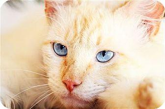 Siamese Cat for adoption in Lincoln, California - Sandy