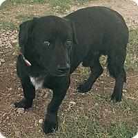 Adopt A Pet :: Corkey - Austin, TX