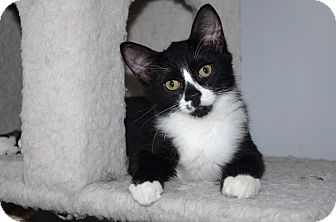 Domestic Shorthair Kitten for adoption in Smithfield, North Carolina - Monroe