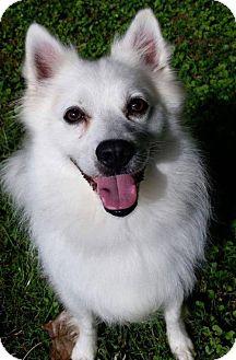 American Eskimo Dog Dog for adoption in Lindsey, Ohio - Konner of Southern Ohio