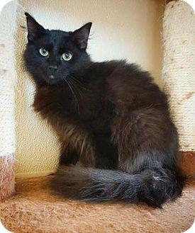 Domestic Longhair Cat for adoption in Fredericksburg, Texas - Alex